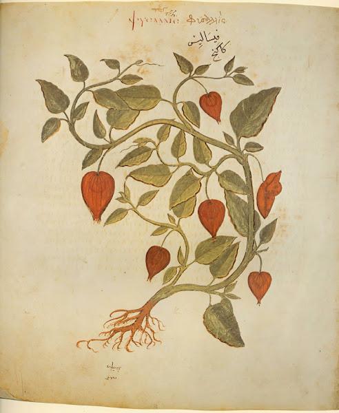 Photo: Physalis alkekengi: Physalis, or Winter-cherry