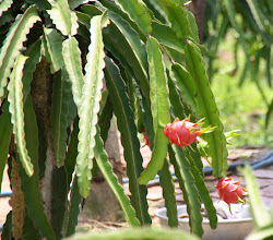 Photo: Year 2 Day 23 - Dragon Fruit Plant