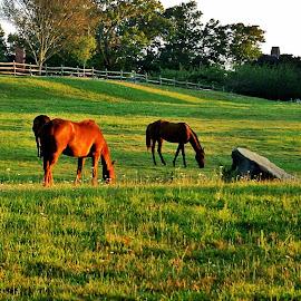 Sunrise Horse Farm  Newport R.I. by Martin Stepalavich - Animals Horses