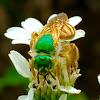 Honey-tailed Striped-Sweat bee