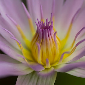 First Bloom Lotus by Bernice Then - Nature Up Close Flowers - 2011-2013 ( watter lilies,  )