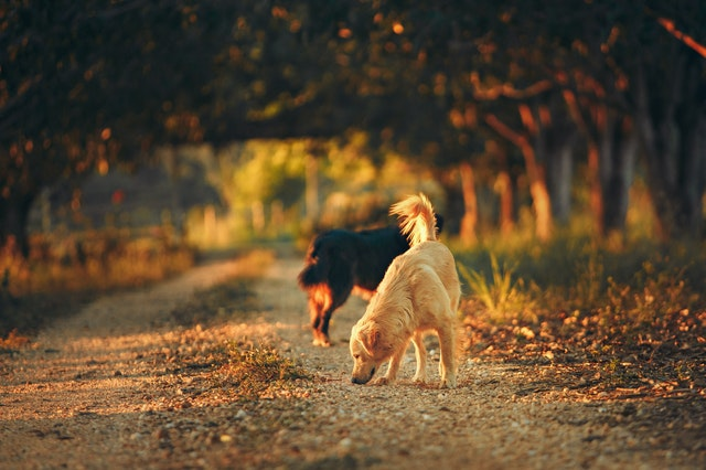 Two dogs foraging on an outdoor walk