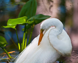 Photo: Great egret in Corkscrew Swamp Sanctuary