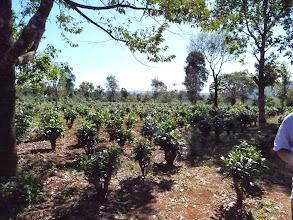 Photo: Laos Reisen, Kaffeeplantage