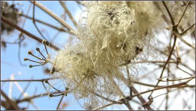 Photo: Curpen de pădure (Clematis vitalba L) - de pe Str. Fabricii - 2018.04.05