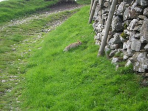 Photo: PW - From Great Shunner Fell to Tan Hill: a wild rabbit