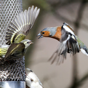 Fighting Birds by Kenny Routledge - Animals Birds ( aggression, scotland, flight, dumfries and galloway, chaffinch, fight, anger, garden birds, wildlife, kenny routledge, birds, siskin )