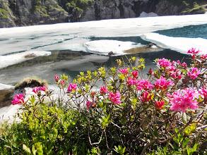 Photo: Fleurs de neiges (Rodhodendrons)