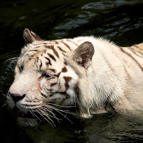 White Tiger by Kai Jian - Animals Lions, Tigers & Big Cats