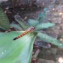 Greater Crimson Glider Dragonfly (female)