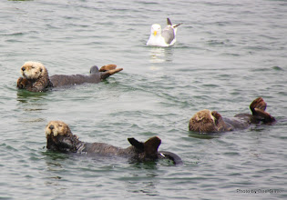 Photo: (Year 3) Day 20 - Otters Floating #9