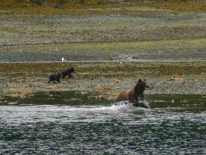 Photo: Sow Bear Fishing