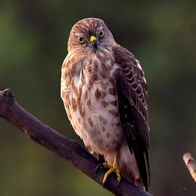 Shikra Juvenile by Manoj Kulkarni - Animals Birds ( mumbai, angry, wildlife, indian, yellow eyes, bird, attitude, looks, staring, sitting, nature, raptor, india, shikra )