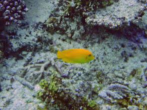 Photo: Acanthurus pyroferus (Mimic Tang), Naigani Island, Fiji