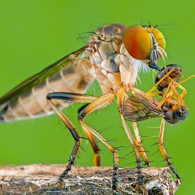 Asilidae With Prey by Tan Tc - Animals Insects & Spiders ( nature, macro photography, insects, close up, robberfly )