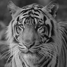 Pose by Yohanes Arief Dewanto - Black & White Animals ( wild, animals, tiger, black and white, animal )
