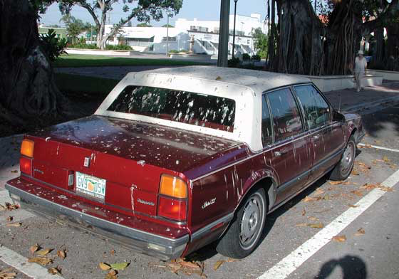 A car in Florida (USA), parked under a tree where roosting passerine birds have been eating a local tree's seasonal fruit, demonstrates that they pass large amounts of urates on such a diet