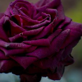 by Basant Malviya - Flowers Single Flower
