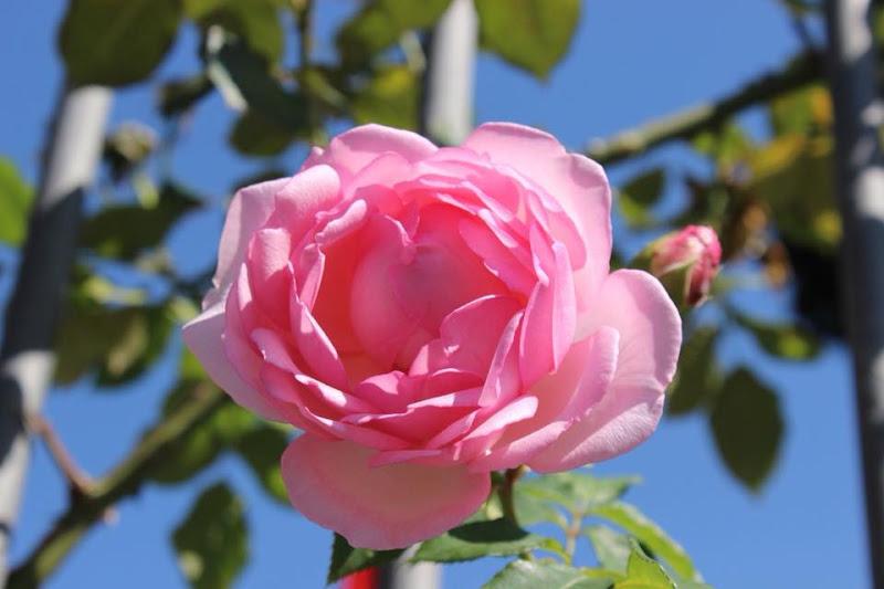 Profumo di Rosa di Flavy