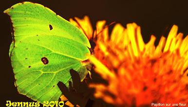 Photo: Schmetterling auf seiner Blume (Butterfly, MARIPOSA)
