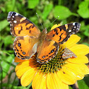 American painted lady
