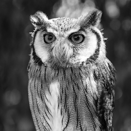 Scops by Garry Chisholm - Black & White Animals ( raptor, bird of prey, nature, scops owl, garry chisholm )