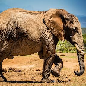 Old Big one by Johann Bekker - Animals Other Mammals ( roadtrip 2017, addo 2017 )