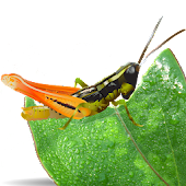 Grasshoppers of the Western US
