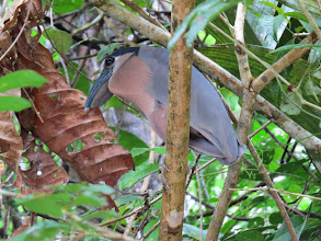 Photo: boat-billed heron, what a beak!