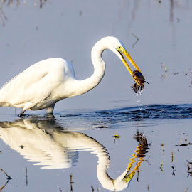 Fishing Time by Abhishek Singh - Novices Only Wildlife ( #egret #fishing #nature #sultanpur )