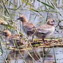 Whiskered Tern chicks; Fumarel Cariblanco