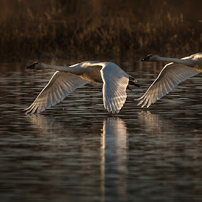 Lift Off by Gary Davenport - Animals Birds ( flying, flight, swans, into sun, tundra, swan, take off, lift-off )