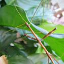 Common American Walkingstick