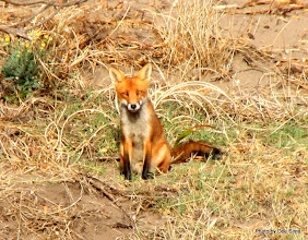 Photo: Year 2 Day 226 - Gorgeous Mr Foxy