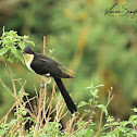 Cuckoo - Black-and-white Cuckoo