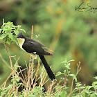 Cuckoo - Black-and-white Cuckoo
