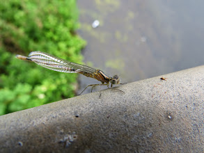 Photo: 21 Jun 13 Priorslee Lake: This was one a number of apparently newly-emerged damselflies resting / drying out on the railings around the sluice on the dam (Ed Wilson)