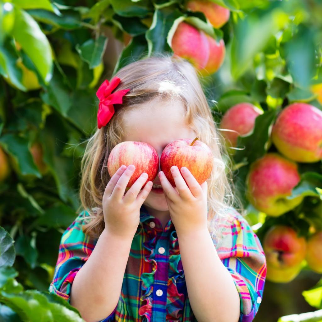 C:Usersmlemai01AppDataLocalMicrosoftWindowsINetCacheContent.Wordlittle-girl-picking-apples-from-tree-in-a-fruit-orchard-picture-id489760350.jpg