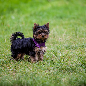 Cute Jacky by Martin Seraphin - Animals - Dogs Puppies ( yorkie, puppy, dog, garden )