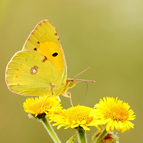 Clouded yellow  by Dean Eades - Animals Insects & Spiders