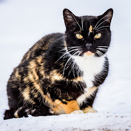 Calico in the snow by Wilma Michel - Animals - Cats Portraits ( calico, cats eyes, cat, winter, snow )