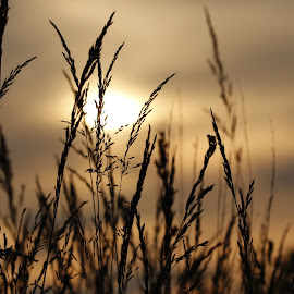 in the meadow at sundown  by Tracy Morris - Nature Up Close Leaves & Grasses (  )