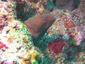 Photo: #002-Murène de Java sur le site de Lankan-Euro-Divers Club Med Kani.