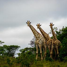 being watched by giraffes by Desiree DeLeeuw - Animals Other Mammals ( mammals, nature, wildlife, africa, giraffes )