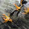 Club-like Tuning Fork Fungus