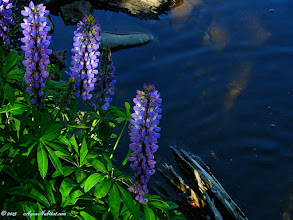 Photo: Lupines on the pond  Too often we learn much more slowly than we wish. For some time we wondered why some lupines had that lovely white upper petal ( the banner) on their flowers. Could it be a particular species? Thankfully we slowly came to learn the white banner is a signal to bees to come pollinate the flower. When you look to the older flowers lower in the blossom this makes sense as they have all darkened to light purple and finally a regal blue. Such is the way plant and pollinator work together, especially around our ponds, streams, lakes and natural gardens.  #ponds  #lakes #flowers       www.aquahabitat.com/pond.plants.html