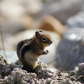 Posing Chipmunk by Amber O'Hara - Animals Other Mammals ( chipmunk, small, rocks,  )