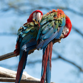 Hanging Out by Damon Hensley - Animals Birds ( zoo, parrots, birds )
