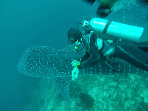 Photo: Whaleshark below