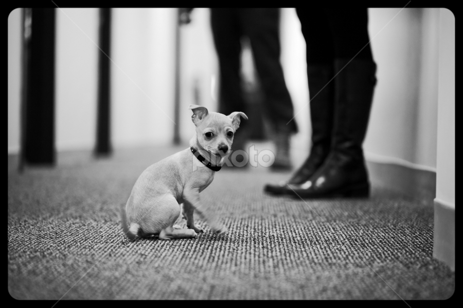 Chihuahua by Jesse McClear - Animals - Dogs Portraits ( sepia, level, bw, white, ground, puppy, chihuahua, dog, portrait, black, dogs, cats, animal shelter, rabbits, ferrets, adoptions,  )